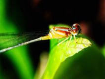 Damselfly. Yellow red and blue striped damselfly resting on leave, taken in the morning with macro lens stock photo