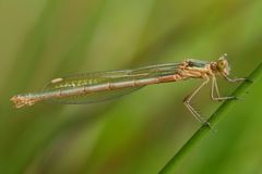 Damselfly (zygoptera) Royalty Free Stock Image