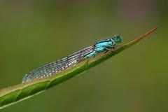 Damselfly (zygoptera). Beautiful damselfly (zygoptera) sitting on a leave stock image