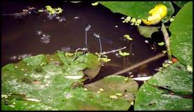 Damselflyanschluß Stockfoto
