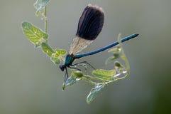 damselflyCalopteryx splendens torkar dess vingar från dagg royaltyfri bild
