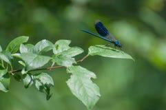 DamselflyCalopteryx virgo som vilar på ett blad Fotografering för Bildbyråer