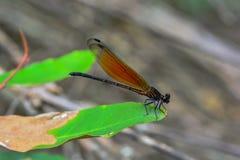 Damselflyen är en rovdjur i natur Arkivbilder