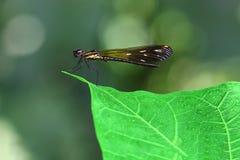Damselfy/anaranjado Dragon Fly /Zygoptera que se sienta en el borde del tronco de bambú con el fondo verde del bokeh Imagen de archivo