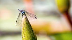 Damselfy auf eine Wildwasserlilienknospe - Frontansicht lizenzfreie stockbilder