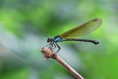 Damselfy/azul Dragon Fly /Zygoptera que se sienta en el borde del tronco de bambú con el fondo suave del verde azul fotografía de archivo