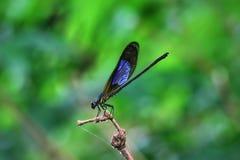 Damselfy/Dragon Fly /Zygoptera, das im Rand des Bambusstammes sitzt Lizenzfreie Stockfotos
