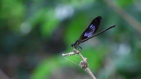 Damselfy/Dragon Fly /Zygoptera que se sienta en el borde del tronco de bambú metrajes