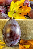Damson with autumnal leaves Stock Photos