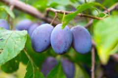 Damson Royalty Free Stock Image