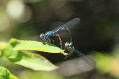 Damson Fly Reproduction. Male and female damson fly during the reproduction process Stock Photos