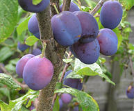Damson Harvest Royalty Free Stock Photos