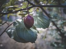 Damson plum fruit on the tree stock image