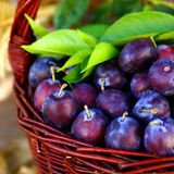 Damson plums. In a basket Stock Images