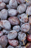 Damson plums (Prunus insititia) Stock Images