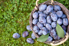 Damson plums (Prunus insititia) Stock Photo
