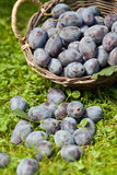 Damson plums (Prunus insititia) in the grass Royalty Free Stock Image