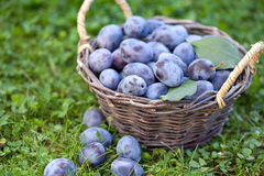 Damson plums (Prunus insititia) in a small basket Royalty Free Stock Photography