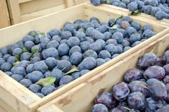 Damson Plums. Small damson plums popular for jam making for sale in the outdoor farm market Royalty Free Stock Photo