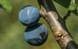 Damson plums on tree. Ripe damson plums on a tree in English hedgerow Stock Photography