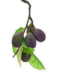 Damson Sprig. Damson Plum sprig isolated against a white background with leaves Royalty Free Stock Photo