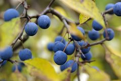 Damson on tree Stock Photos