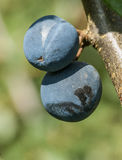 Damsons on the tree Royalty Free Stock Photos