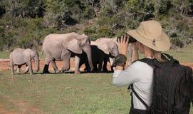 Damturist med kikare på safari som ser elefanter royaltyfria bilder