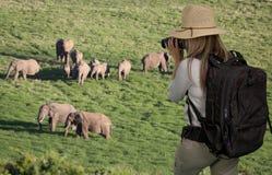 Damturist med kikare på safari som ser elefanter fotografering för bildbyråer