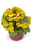 Damy kiesa, pantoflowy kwiat Obraz Royalty Free