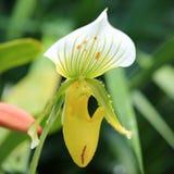 Damy Pantoflowa orchidea Zdjęcia Royalty Free