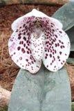 Damy Pantoflowa orchidea Zdjęcie Stock