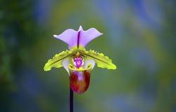 Damy Pantoflowa orchidea zdjęcia stock