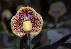 Damy pantoflowa orchidea, Cypripedioideae Paphiopedilum zdjęcie royalty free