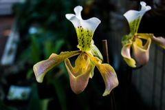 Damy pantoflowa orchidea, Cypripedioideae Paphiopedilum w przedpolu, zdjęcie royalty free