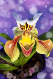 Damy pantoflowa orchidea Odizolowywająca zdjęcie stock