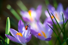 Damy pluskwa na wiosna krokusie kwitnie, makro- wizerunek z małą głębią pole zdjęcie stock