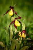 Damy ` s pantoflowej orchidei kwiaty na zamazanym zielonym tle obrazy stock