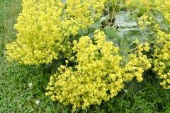 Damy salopy Alchemilla vulgaris L Kwitnie roślina zdjęcie stock
