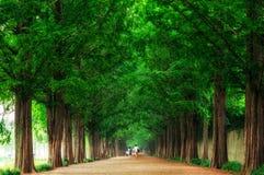 Damyang Metasequoiaväg Arkivbild