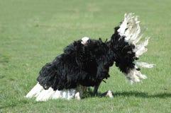 Dança 1 da avestruz Fotografia de Stock