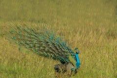 Dança bonita do pavão imagem de stock royalty free