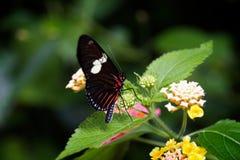 Dança delicada da borboleta Fotos de Stock Royalty Free