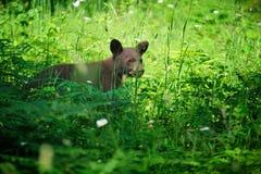 Dança do urso preto! Foto de Stock