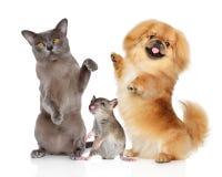 A dança pets o gato de Burma, o cão do pequinês e o rato em um branco Imagens de Stock