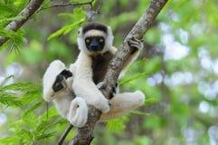 Dança Sifaka (Lemur) Imagens de Stock