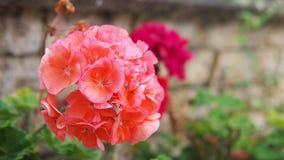 Dançarino Bouquet do gerânio da cor do pêssego no jardim foto de stock royalty free