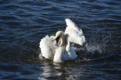 Dançarino da cisne Foto de Stock