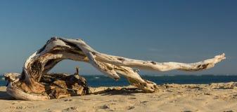 Dançarino da madeira lançada à costa fotografia de stock