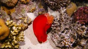 Dançarino espanhol no recife de corais filme